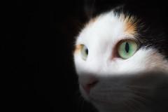 Charlotte (Renald Bourque) Tags: chat flickr quebec charlotte oeil québec minou chatte lefion lefïon