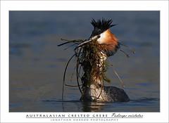 Australasian Crested Grebe (truu
