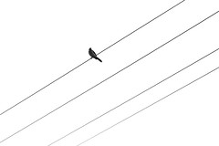 Bird on a Wire (~ by jessica ~) Tags: bird wire electrical whiteonwhite day52 day52365 3652013 365the2013edition 21feb13