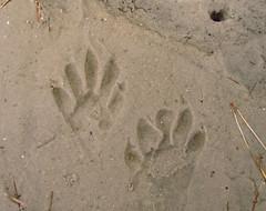 Raccoon Tracks: Aransas National Wildlife Refuge, Texas (TX) (Floyd Muad'Dib) Tags: beach geotagged star sand track texas state tx wildlife tracks national beaches lone raccoon floyd muaddib raccoons aransas refuge nwr lonestarstate aransasnationalwildliferefuge aransasnwr floydmuaddib