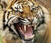 Tigger... (lollipoplollipop@home) Tags: specanimal