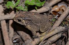 Asian Common Toad, Duttaphrynus melanostictus (Schneider, 1799) (Misenus1) Tags: cambodia toads animalia kampongthom anura amphibia bufonidae chordata taxonomy:class=amphibia taxonomy:order=anura taxonomy:kingdom=animalia taxonomy:phylum=chordata taxonomy:family=bufonidae duttaphrynusmelanostictus taxonomy:binomial=duttaphrynusmelanostictus