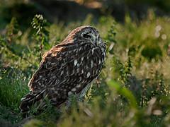 Coruja-do-nabal (Asio flammeus) Jorduggla (Arlindo Fragoso) Tags: nature birds natureza birding aves birdwatching birdwatcher asioflammeus biodiversidade corujadonabal