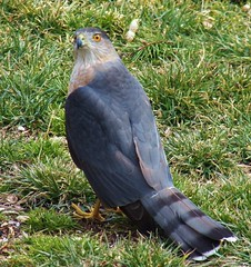sharp-shinned hawk (Explored) ©PD laich (MissyPenny) Tags: blue birds pennsylvania hawk explore northeast buckscounty sharpshinnedhawk bluegray northeastbirds