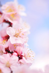Smelled Like Heaven (*Sakura*) Tags: pink white flower macro nature japan tokyo plum  sakura  earlyspring
