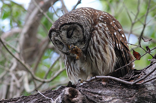 Barred Owl, Everglades National Park, Florida, January 2013