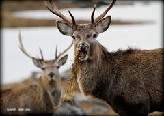 Red Deer Stags - Glen Cannich (Ally.Kemp) Tags: red wild highlands scottish glen deer stags invernessshire cannich
