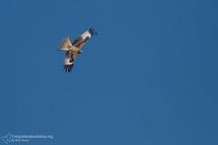 Nibbio reale (Milvus milvus) - Red Kite (2) (fotografianaturalistica.org) Tags: redkite milvusmilvus milanroyal milanoreal rotmilan nibbioreale