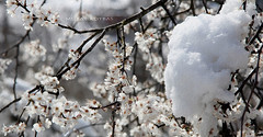 plum tree (muratkotbas) Tags: flowers winter snow flower tree water photoshop canon painting spring blossom plum dal erik blacksea karadeniz oils kar trabzon bahar çiçek ağaç kış cicek ağacı cs6