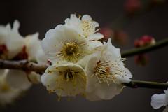 Kitano Tenman-gū (北野天満宮) 12 (KyotoDreamTrips) Tags: japan kyoto ume 北野天満宮 baikasai 梅花祭 kitanotenmangū umeblossomsfestival