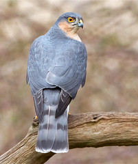 Sparrowhawk (KHR Images) Tags: wild bird closeup glare wildlife sandy perched sparrowhawk accipiternisus rspbsandy kevinrobson khrimages