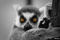 Take care! I'm watching you (Maurizio-B) Tags: eyes occhi lemur selective primates lemure primati selettivo