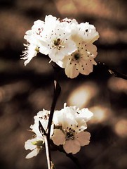 ... (Venusian Lady) Tags: flower macro tree nature beautiful spring bokeh pear bloom bradfordpear