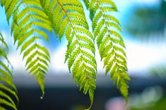 Radiance (AnaZamora) Tags: blue sky fern green nature lens photography leaf nikon dof radiance m42 58mm legacy helios f20 44m6 d3100