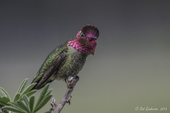 Anna's Hummingbird (Bob Gunderson) Tags: sanfrancisco california goldengatepark birds northerncalifornia hummingbirds annashummingbird bisonpaddock calypteanna