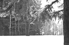 Evergreen (lumpy79) Tags: winter blackandwhite bw snow monochrome mono blackwhite pentax monotone nb evergreen grayscale bandw zwart wit ff schwarz greyscale mustvalge weis  pentaxm zwartenwit lgf mustavalkoinen crnobijeli feketefehr   noirblanche itimatputi sortoghvid brancoenegro k20d  smcpm50mmf17 pentaxk20d schwarzundweis smcpentaxm1750mm ernobl rkzld   lnyigergelyferenc  o  nwaakblan