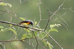 Minivet oranor Pericrocotus cinnamomeus - Small Minivet Oiseau Inde Indian bird (geolis06) Tags: india bird asia maharashtra asie oiseau inde geolis06