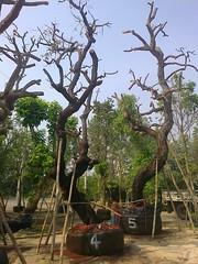 ต้นพะยอม4