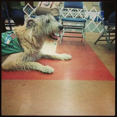 Wolfhound (joditbobo) Tags: square squareformat servicedog dogshow irishwolfhound iphoneography instagramapp uploaded:by=instagram ftworthdogshow