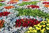 مهرجان الزهور الثالث - 2 (ولاء المصيلحي | Walaa AbdulAziz) Tags: ورد مهرجان أحمر أصفر أخضر زهر رمادي الزهور