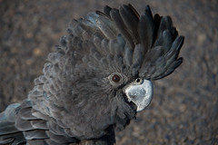 Red-Tailed Black Cockatoo (loobyloo55) Tags: black bird nature fauna feathers parrot australia nsw cockatoo blackcockatoo canoneos7d
