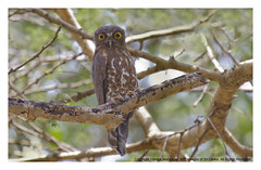 IMG_2375 (Harsha Matarage) Tags: pictures nature birds asia photos shots pics snaps srilanka ceylon lk wetland wilpattu brownhawkowl ninoxscutulata harshadesilva harshamatarage wilpattunationalpark