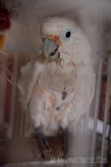 IMG_5328 (ReverieRevel) Tags: pet bird parrot boo cockatoo wetbird wetpet goffinscockatoo wetparrot