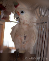 IMG_5321 (ReverieRevel) Tags: pet bird parrot boo cockatoo wetbird wetpet goffinscockatoo wetparrot