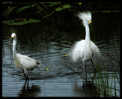 Show Off (QuakerVille) Tags: bird heron birds florida snowy wildlife wetlands egret delray wetland snowyegret boyntonbeach wakodahatchee lateseason yellowfeet blacklegs greencay jonmarkdavey