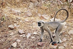 Bundi_monkeys 99 (peteypistolero) Tags: travel india nature wildlife monkeys rajasthan macaques bundi travelphotography travelphotos langurs peteypistolero canonrebelt2i peteschnell