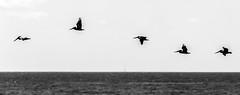 Pelicans (m@yphotos) Tags: vacation blackandwhite bw usa galveston bird animal nikon texas urlaub pelican northamerica sw pelikan amerika tier vogel 2012 d90 schwarzweis nordamerika urlaubusa2012 vacationusa2012