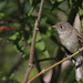 Least Flycatcher...#7