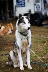 sledge doge (Cloudtail) Tags: camp dog pet animal easter mammal hund musher tier sledge schlittenhund sugetier