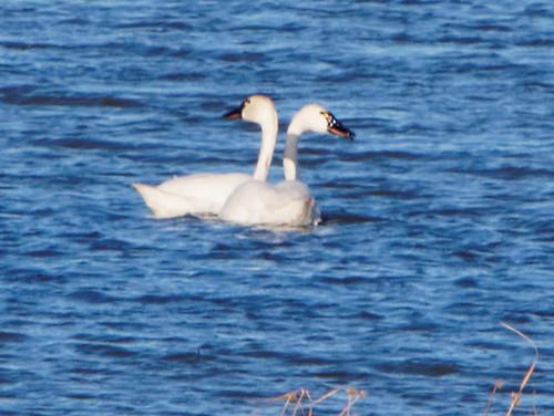 """P4092231 """"Two-headed"""" Tundra Swan"""