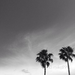 Afternoon sky with palm trees (Mike fl99) Tags: trees sky bw nature palms cloudless mikefl99 hueless uploaded:by=flickrmobile flickriosapp:filter=nofilter