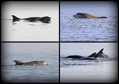 Moray Firth Dolphins - 13/4/13 (Ally.Kemp) Tags: point scotland marine wildlife scottish dolphins mammals moray rosemarkie blackisle firth chanonry fortrose bottlnose