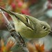 Ruby Crowned Kinglet Jumping From the Fiery Inferno