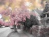 The Arrival of Spring series (Nick Kenrick..) Tags: pink spring blossom sakura victoriabc tatot