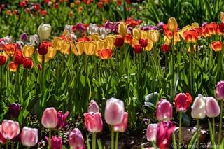 Tulip Spiritualis