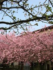 Der Frhling kehrt wieder (amras_de) Tags: flower primavera fleur spring wiesbaden flor jar blomma prima fiore lente blte blomst printemps vor tavasz virg ver frhling lore ware vr bloem blten jaro blm wiosna iek floro kwiat flos forr kevad ciuri primavara pavasaris kevt udaberri kvet kukka cvijet flouer ilkbahar blth cvet zieds is proljece printempo earrach floare pomlad blome iedas frijoer