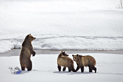 Standing Grizzly with cubs 610 (Daryl L. Hunter - The Hole Picture) Tags: usa danger unitedstates jackson wyoming grandtetonnationalpark oxbowbend grizzlybearcubs standinggrizzlybear grizzly610andcubs