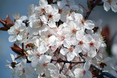 Finally spring has come! (bbic) Tags: flowers white blossom april botanicalgarden bucharest
