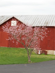 The Peach tree in Bloom (tshiverd) Tags: ohio tree farm peachtree 2013 bankbarn