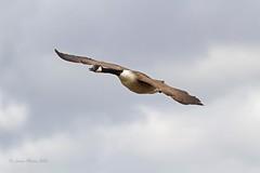 Canada Goose I (Louise Morris (looloobey)) Tags: flight hide moors canadagoose uptonwarren img6118 april2013