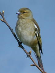 Chaffinch, near Burgh-by-Sands, 20 April 13 (1 of 2) (gillean55) Tags: female ga ed nikon north cumbria coolpix marsh es 80 digiscoping chaffinch fringilla coelebs digiscoped digiscope burghbysands opticron es80gaed p5100 holmesmill