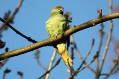 Ring-necked parakeet - halsbandparkiet - örvös sándorpagapály (antaldaniel) Tags: urban parrot parakeet halsbandparkiet papagai sándorpapagály