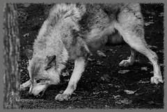 Canada Wildlife (sandys eyecatcher) Tags: blackandwhite white canada black nature animal animals canon tiere wolf forrest montreal wildlife ottawa natur angry earthday kanada april22 angrywolf