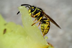 Wasp eating Melon DSC_1395 (Me now0) Tags: waspeatingmelon insect closeup macro nikond5300 basiclens europe 1855mmf3556 flash    5300    simplysuperb