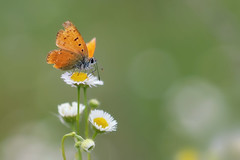 *** (Verlgof) Tags: macro butterfly bokeh summer insect