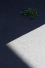 (Michael Krems) Tags: michaelkremsphotography michaelkrems 2016 canon canoneos60d digital eisenach lwenzahn schatten shadow licht light minimalism deutschland germany